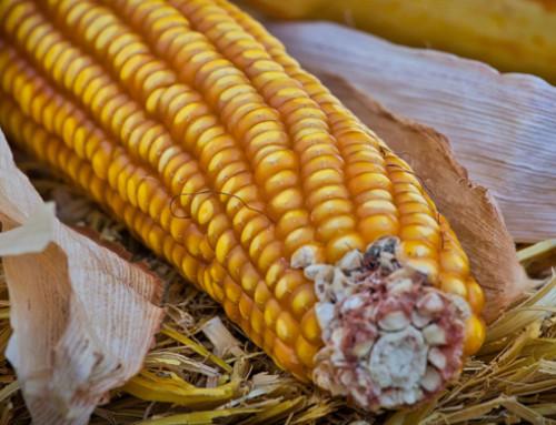 ISMEA, prezzi in flessione per il mais e stabili per la soia