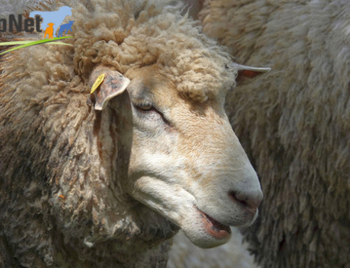 Si è concluso il Progetto Sheepnet: i risultati illustrati nel Seminario Finale a Macomer