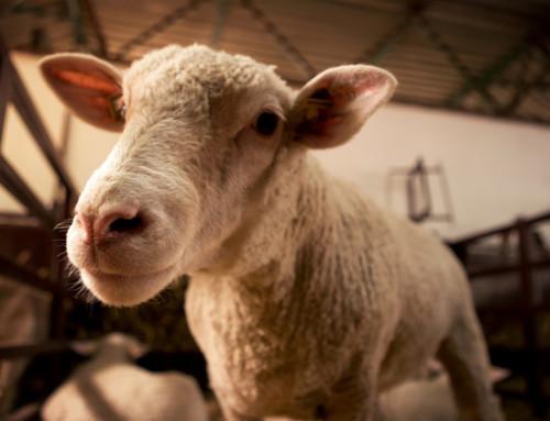 Latte ovino: caratteristiche fisico-chimiche e sua importanza nello sviluppo di alimenti funzionali