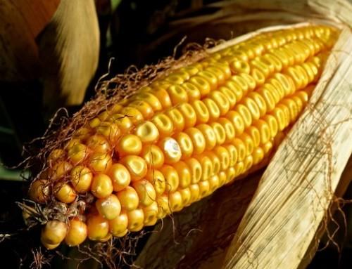 La fotosensibilizzazione a base di curcumina inattiva l'Aspergillus flavus e riduce l'aflatossina B1 nei chicchi di mais