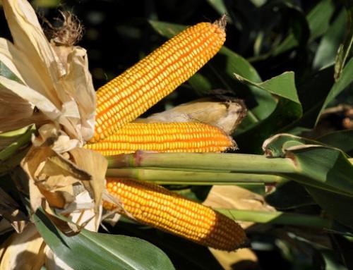 Differenze di digeribilità dell'amido nel trinciato di mais e variazioni durante l'insilamento