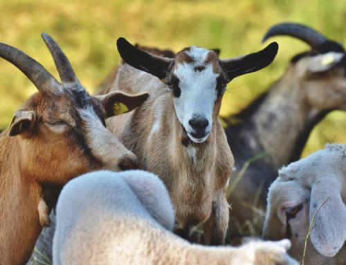 L'uso dei sottoprodotti agroindustriali ricchi di polifenoli nell'alimentazione dei piccoli ruminanti da latte