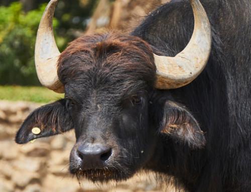 Ricerca e prodotti lattiero-caseari: profili metabolici di latte e mozzarella di bufala per salvaguardare autenticità e tracciabilità