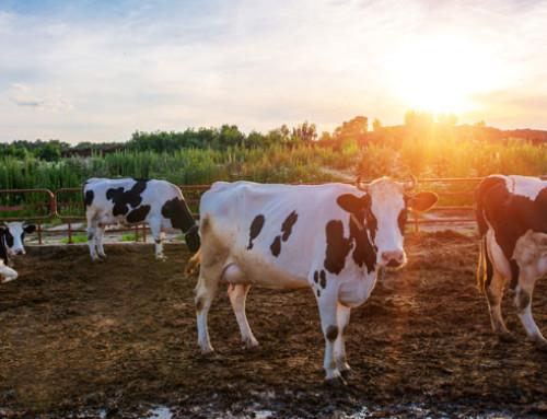 Il bilancio della produzione di gas serra degli allevamenti è proprio così negativo?