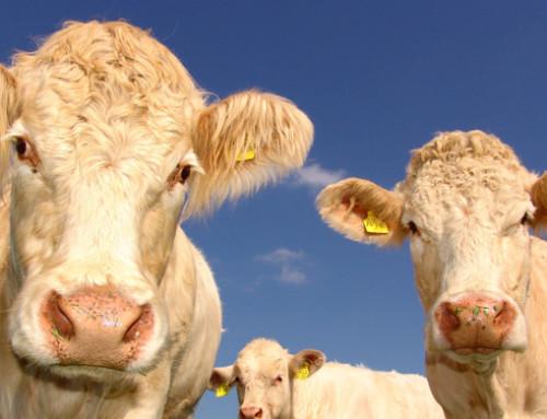 Importanti effetti del lievito vivo sui bovini da carne