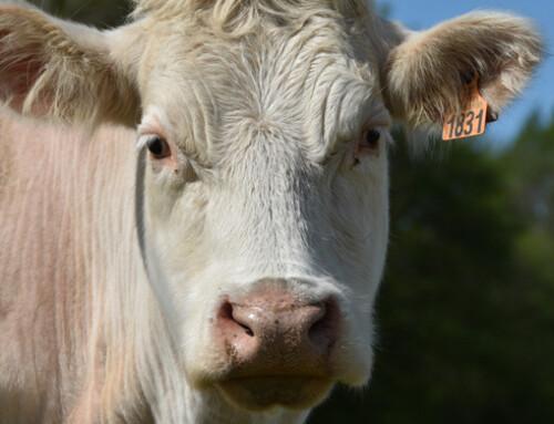 Effetti sinergici dell'integrazione di lievito vivo + pareti cellulari ricche in MOS e B-Glucani nei bovini da carne
