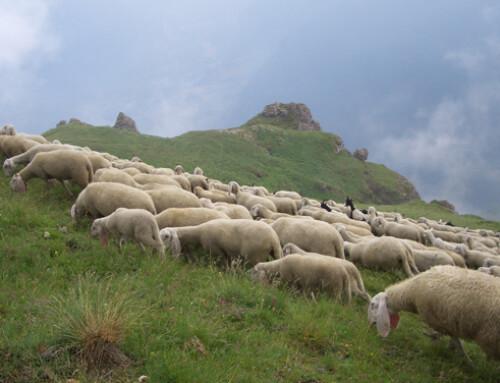 EcoLamb: un progetto di ricerca per il sostegno delle produzioni di carni ovine