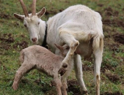 Un prolungato fotoperiodo aumenta la produzione di latte e diminuisce l'attività ovulatoria nelle capre da latte